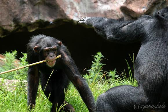 戦うチンパンジー