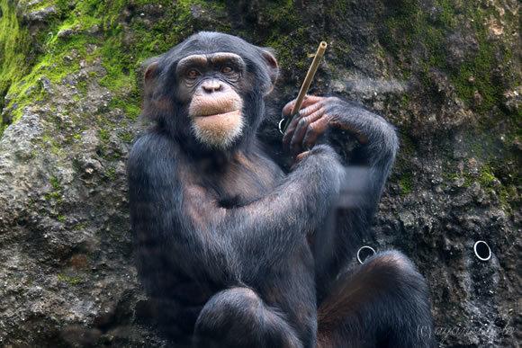 道具を使うチンパンジー