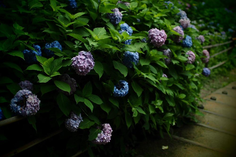 紫陽花 2015 <山田池公園>>                     _f0021869_2235488.jpg
