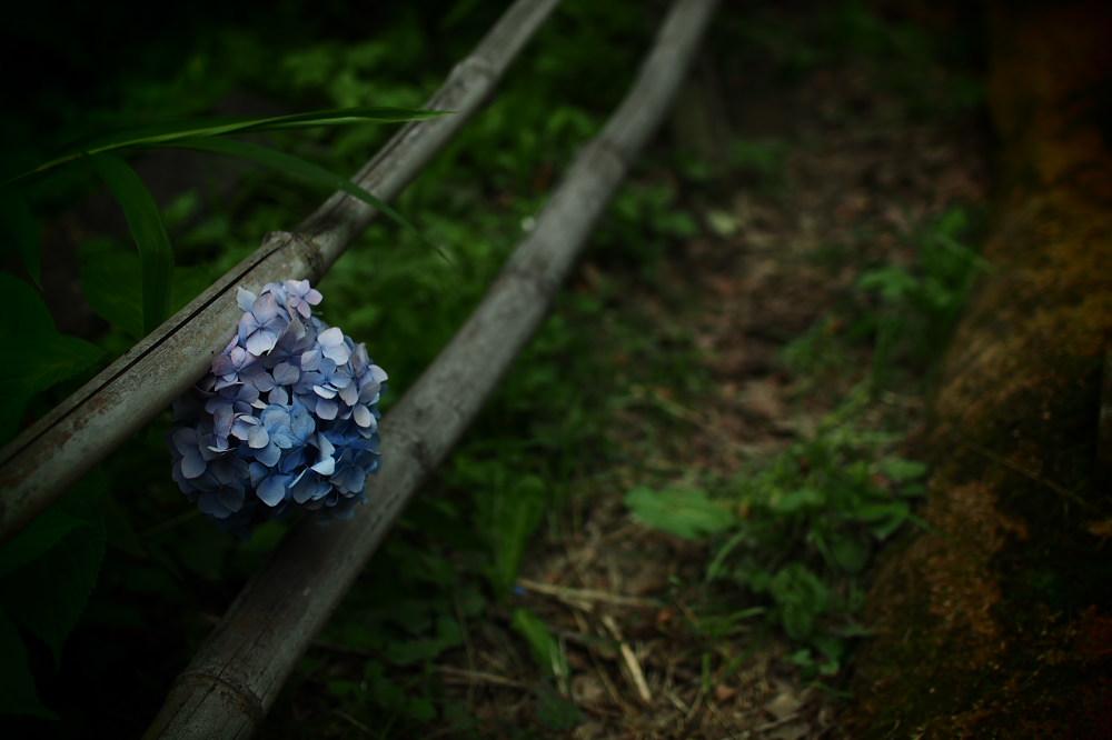 紫陽花 2015 <山田池公園>>                     _f0021869_2235617.jpg