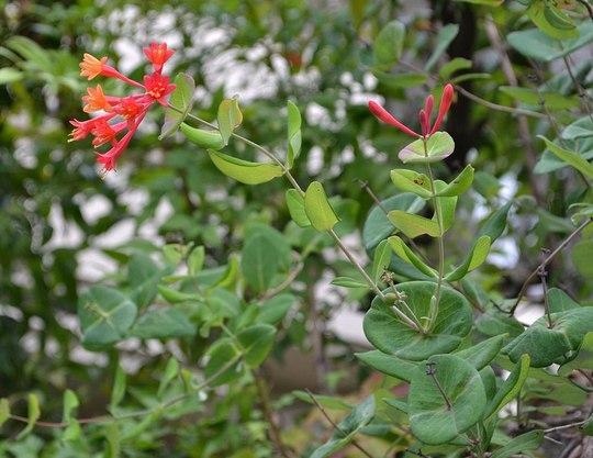 路傍の花、樹々の鳥(81) ~ アルプスのランタン ~_b0102572_14315354.jpg