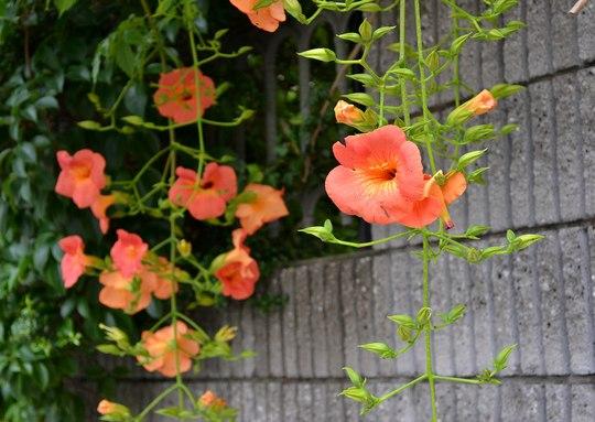 路傍の花、樹々の鳥(81) ~ アルプスのランタン ~_b0102572_1432698.jpg