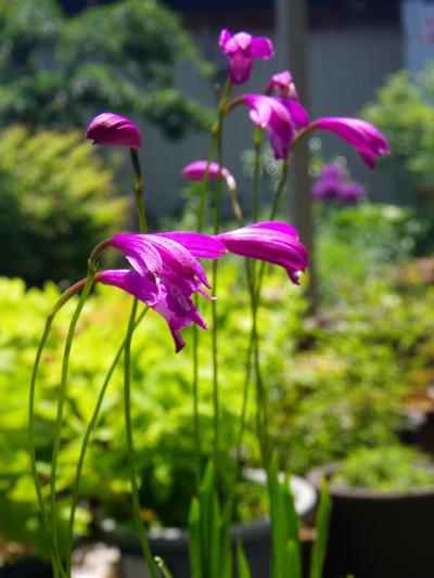 アサヒラン、クモキリソウなど、今咲いている山野草を少し♪_a0136293_16112433.jpg