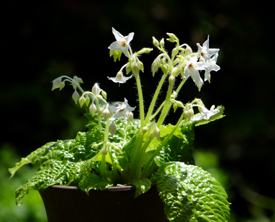 アサヒラン、クモキリソウなど、今咲いている山野草を少し♪_a0136293_16231994.jpg
