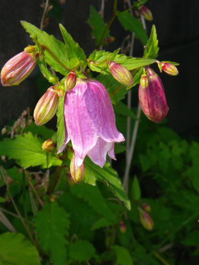アサヒラン、クモキリソウなど、今咲いている山野草を少し♪_a0136293_16253953.jpg