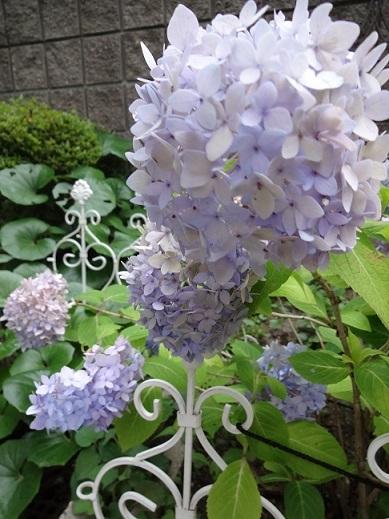 秋色紫陽花と西安と多肉。。_c0178104_08292658.jpg