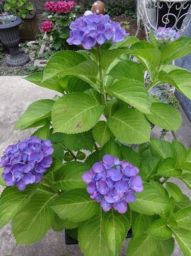 秋色紫陽花と西安と多肉。。_c0178104_08303210.jpg