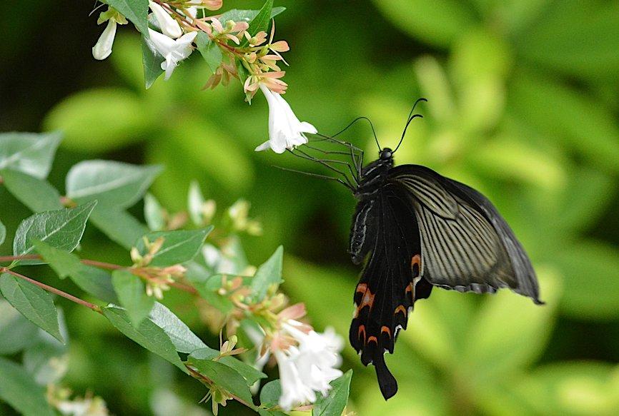 池のほとりの蝶たち(2015年6月24日) _d0303129_21543790.jpg