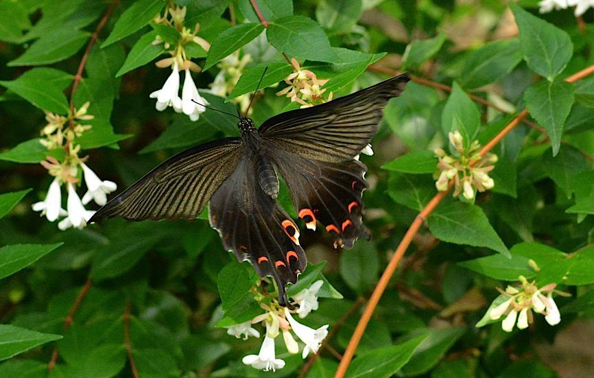 池のほとりの蝶たち(2015年6月24日) _d0303129_21544984.jpg