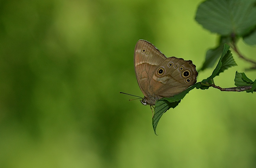 池のほとりの蝶たち(2015年6月24日) _d0303129_21555178.jpg