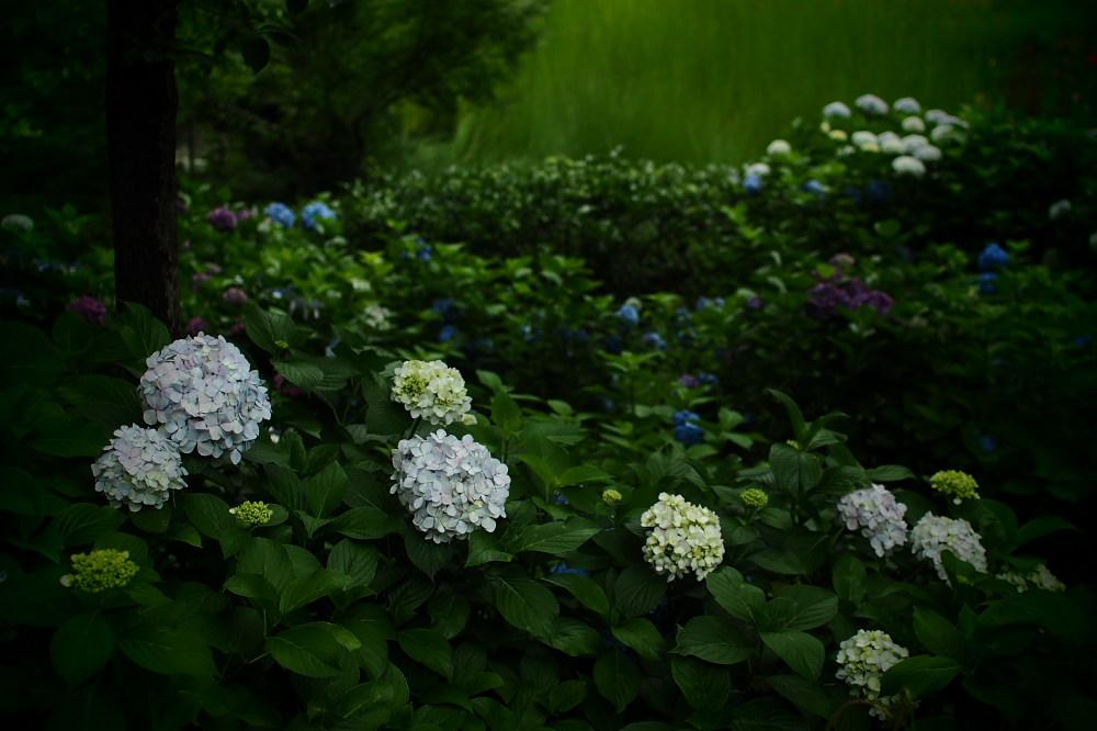 紫陽花 2015 <山田池公園>                   _f0021869_22155323.jpg