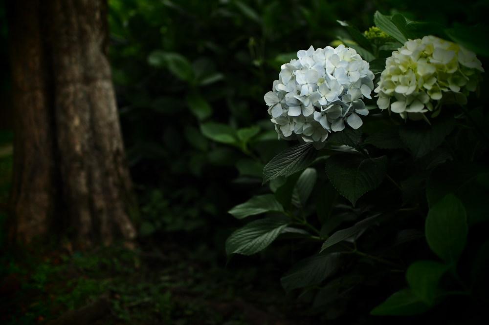 紫陽花 2015 <山田池公園>                   _f0021869_22161552.jpg