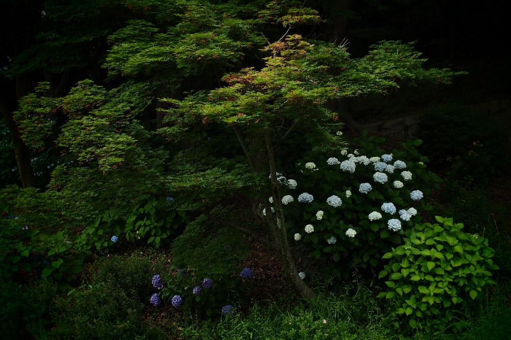紫陽花 2015 <山田池公園>                   _f0021869_22164979.jpg