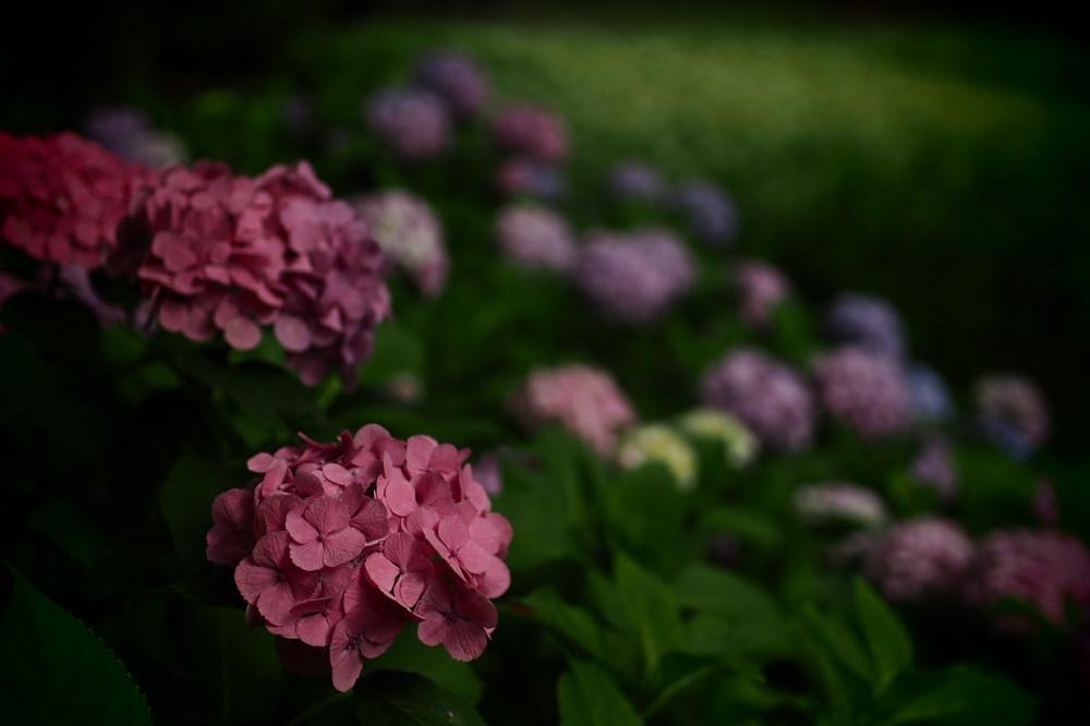 紫陽花 2015 <山田池公園>                   _f0021869_2217226.jpg