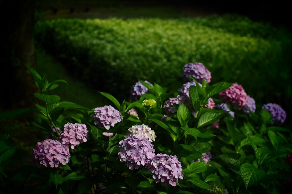 紫陽花 2015 <山田池公園>                   _f0021869_2218173.jpg