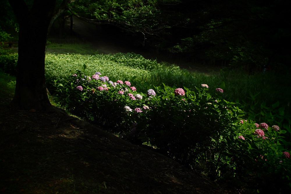 紫陽花 2015 <山田池公園>                   _f0021869_2219534.jpg