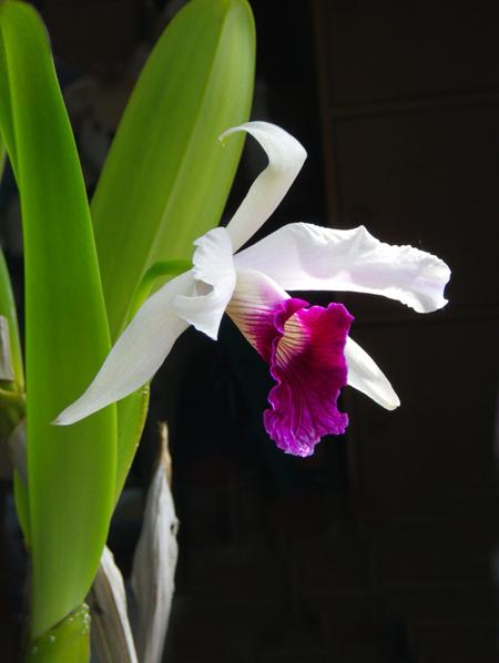 レリア・パープラタと、フォーミディブルの開花♪_a0136293_20231062.jpg