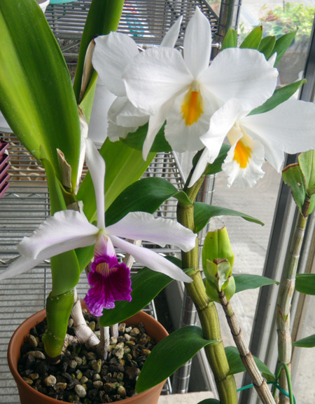 レリア・パープラタと、フォーミディブルの開花♪_a0136293_20311679.jpg