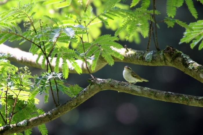 2015.6.24 鳥はたくさん居ますね・早戸川林道・センダイムシクイ他(There are a lot of birds)_c0269342_18141652.jpg