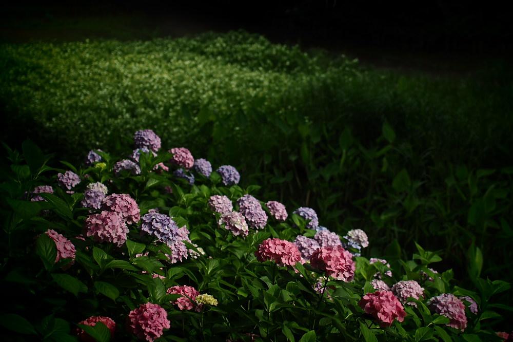 紫陽花 2015 <山田池公園>                                    _f0021869_22415245.jpg