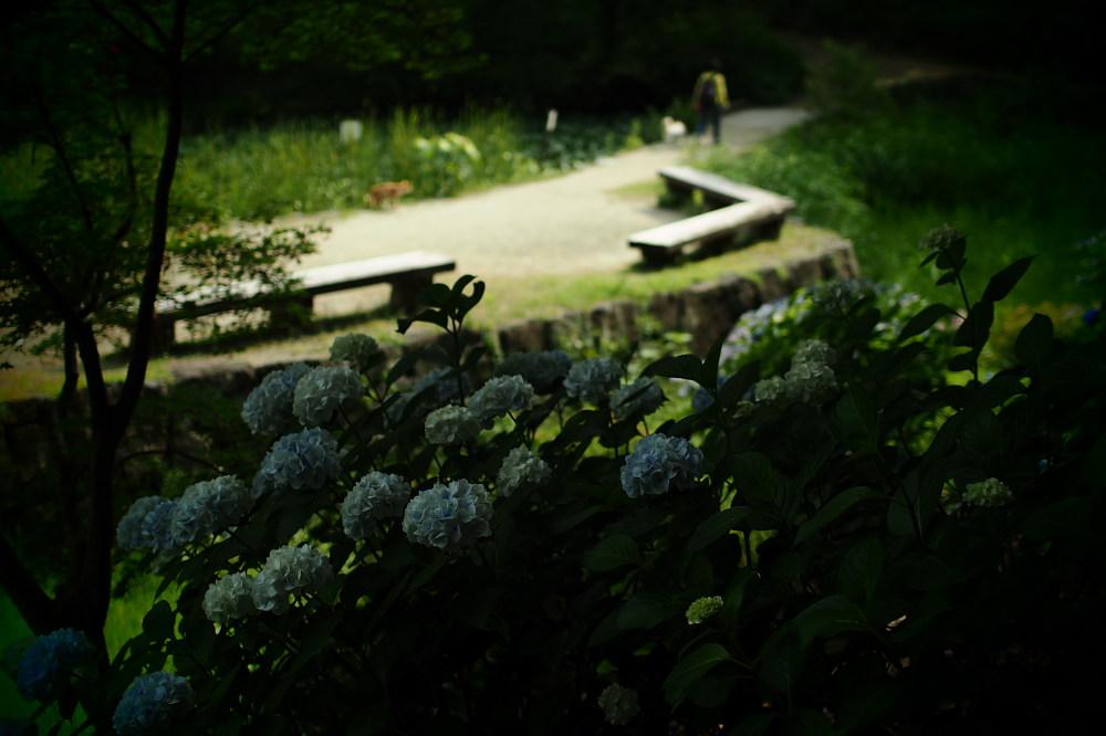 紫陽花 2015 <山田池公園>                                    _f0021869_22423692.jpg