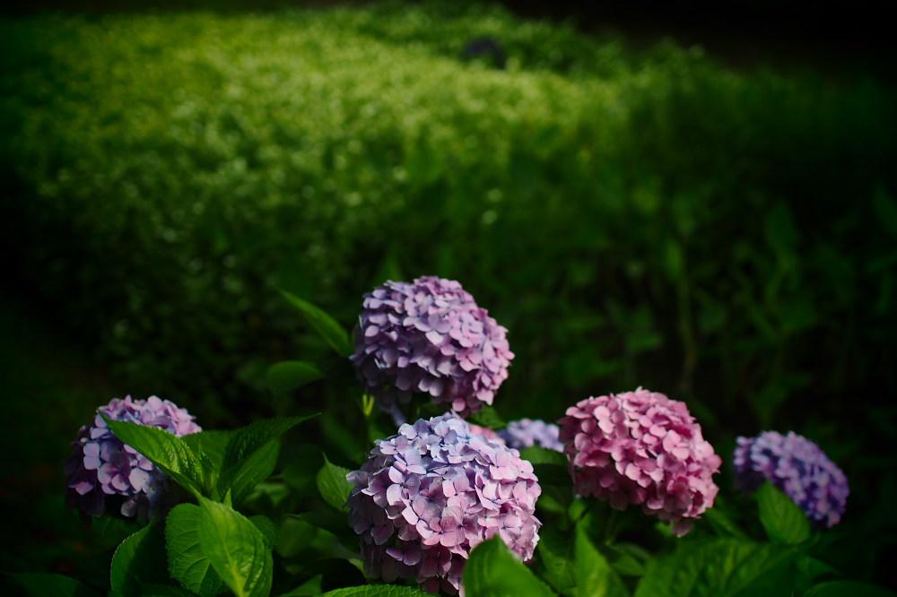 紫陽花 2015 <山田池公園>                                    _f0021869_2242956.jpg