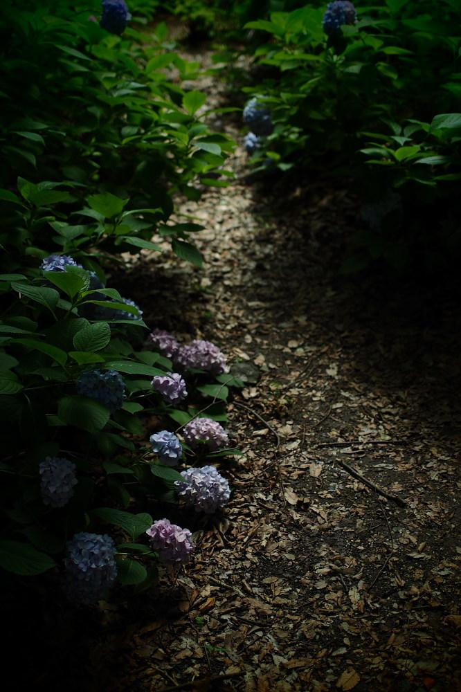 紫陽花 2015 <山田池公園>                                    _f0021869_22432469.jpg