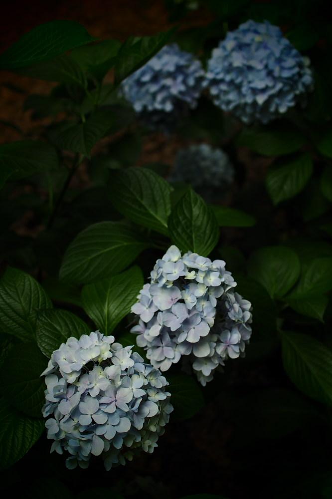 紫陽花 2015 <山田池公園>                                    _f0021869_22441751.jpg