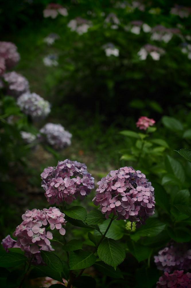 紫陽花 2015 <山田池公園>                                    _f0021869_22443054.jpg