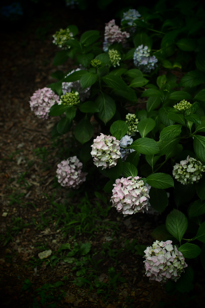 紫陽花 2015 <山田池公園>                                    _f0021869_2244352.jpg