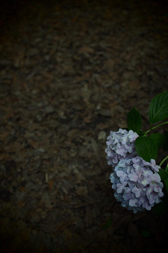 紫陽花 2015 <山田池公園>                                    _f0021869_22443991.jpg
