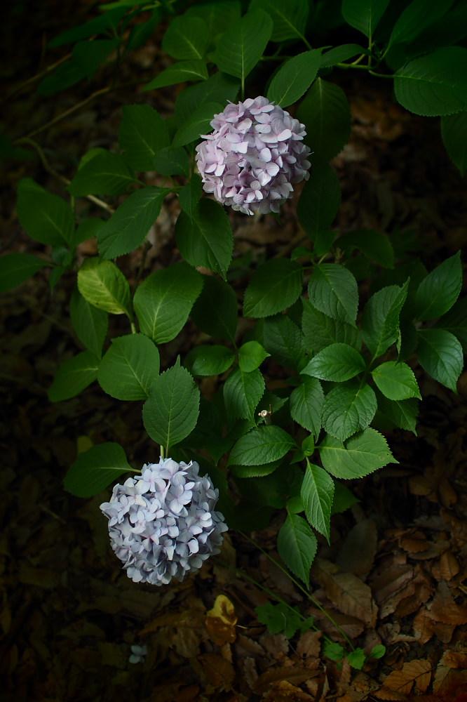 紫陽花 2015 <山田池公園>                                    _f0021869_22444998.jpg