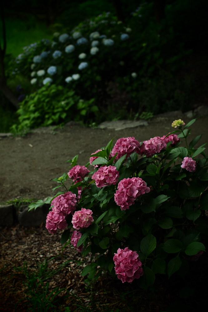 紫陽花 2015 <山田池公園>                                    _f0021869_22452625.jpg