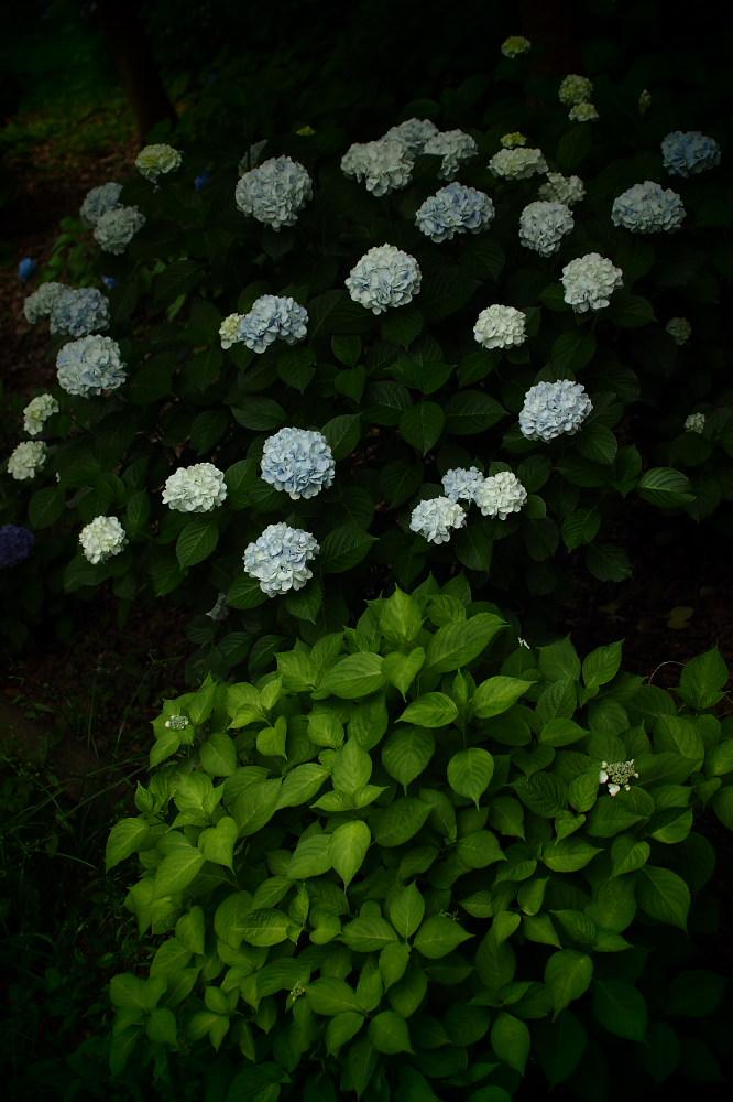 紫陽花 2015 <山田池公園>                                    _f0021869_22453720.jpg