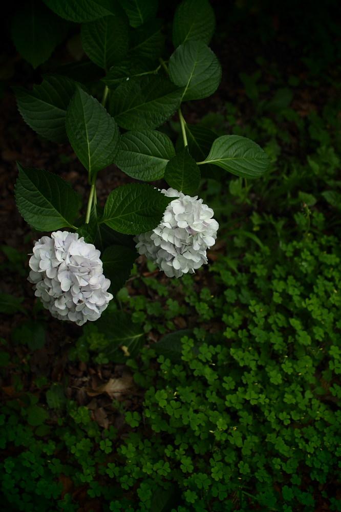 紫陽花 2015 <山田池公園>                                    _f0021869_224576.jpg