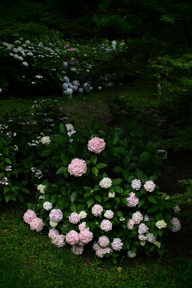 紫陽花 2015 <山田池公園>                                    _f0021869_2246021.jpg