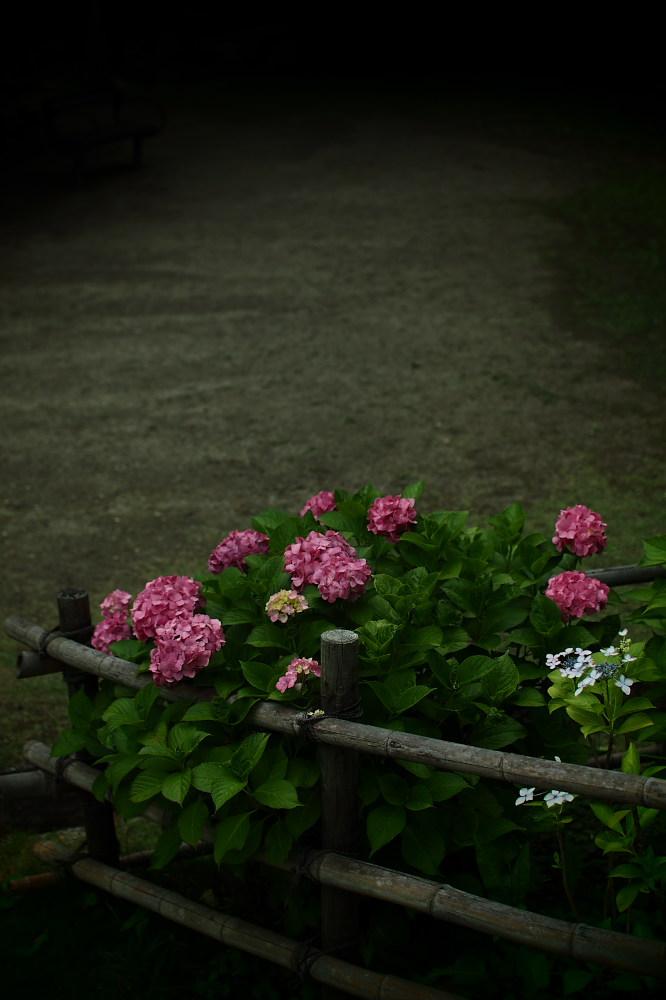 紫陽花 2015 <山田池公園>                                    _f0021869_22462766.jpg
