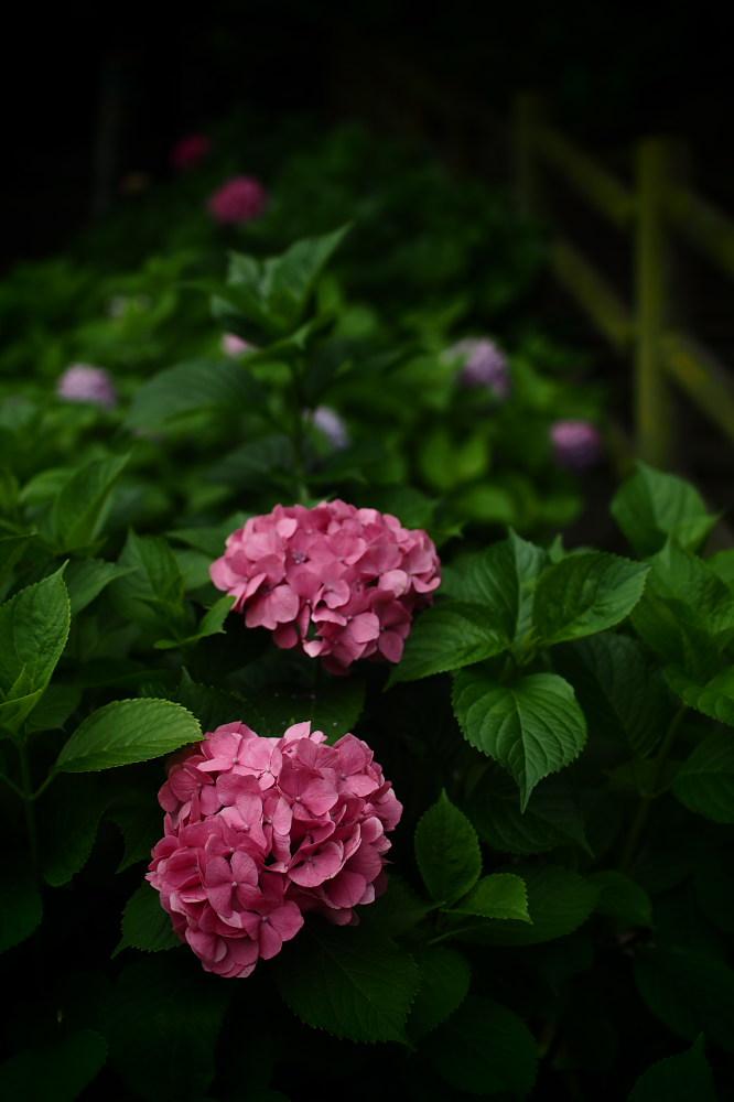 紫陽花 2015 <山田池公園>                                    _f0021869_22464217.jpg