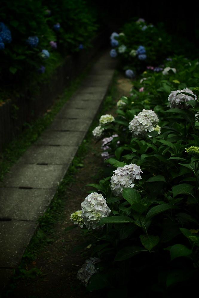 紫陽花 2015 <山田池公園>                                    _f0021869_22465890.jpg