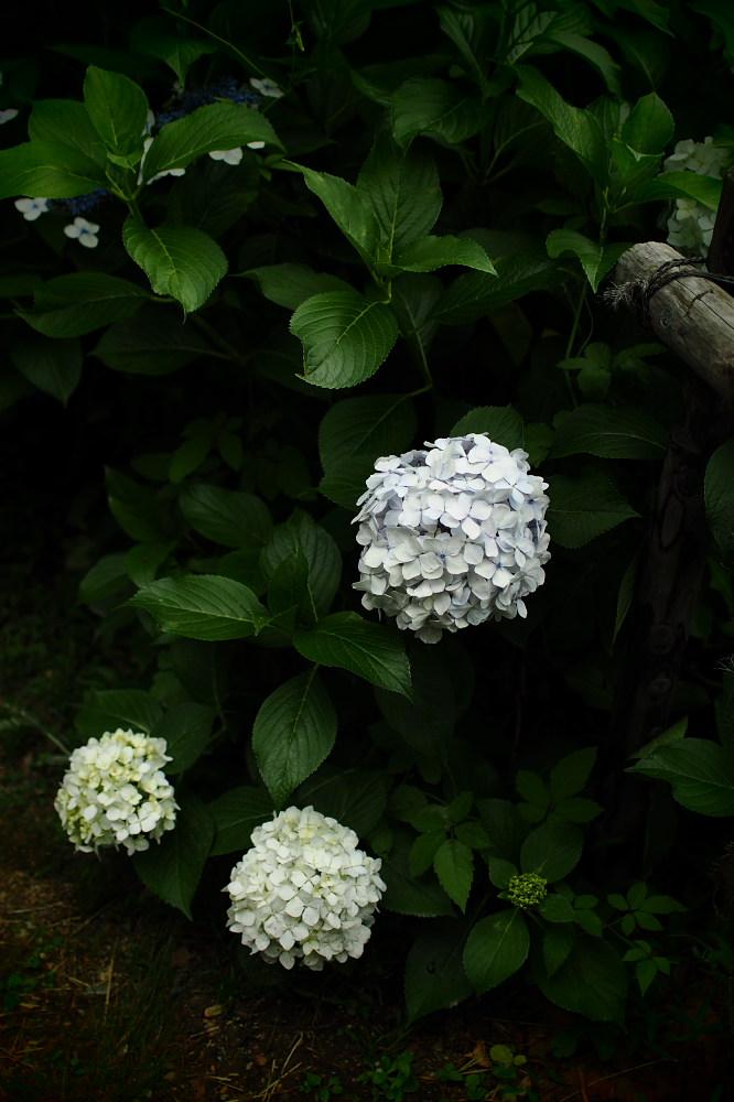 紫陽花 2015 <山田池公園>                                    _f0021869_22472976.jpg