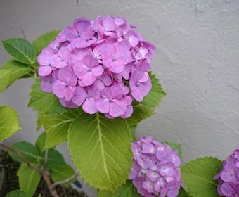 紫陽花〜朝顔_b0011075_1934368.jpg