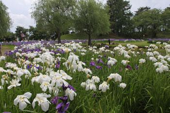 花しょうぶ祭りを見てきました! by ぐるっと会津_d0250986_7424916.jpg