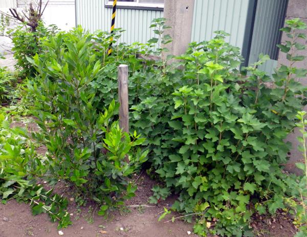 フサスグリの収穫♪_a0136293_19492494.jpg