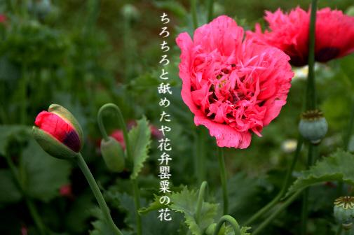 罌粟の花_e0099713_21542362.jpg