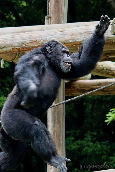 二足歩行するチンパンジー