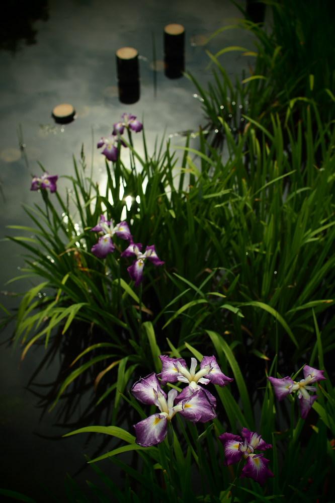 花菖蒲 2015   <山田池公園>                     _f0021869_23331559.jpg