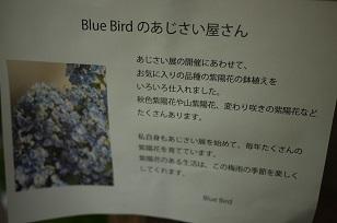 3日+1日=「あじさい展」ハクトヤ+Blue  Bird_f0226293_21565270.jpg