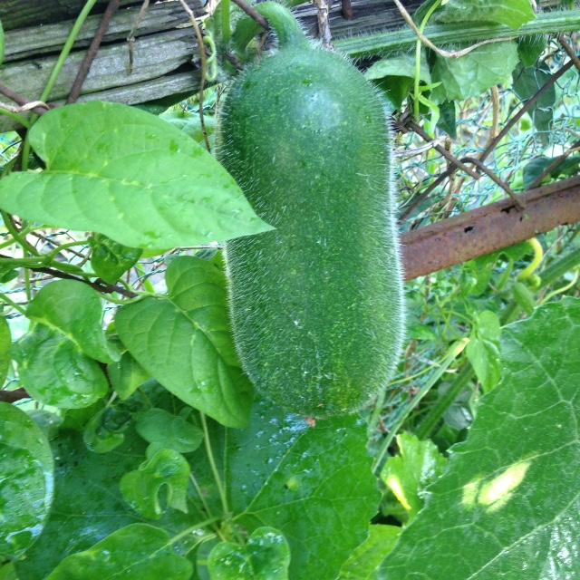 夏野菜収穫_f0204295_19295166.jpg