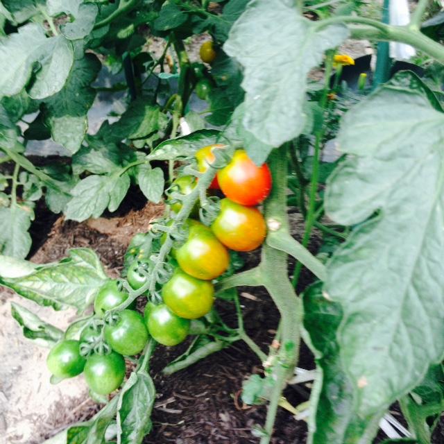 夏野菜収穫_f0204295_1931949.jpg