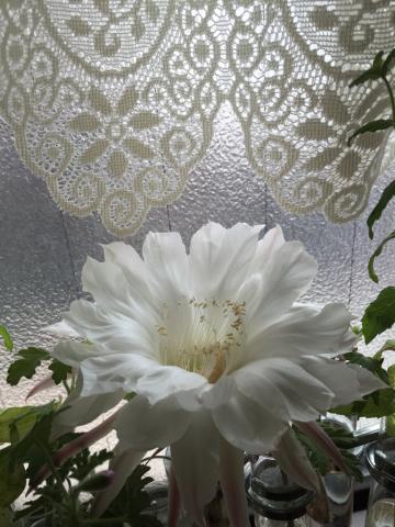 サボテンの花_e0086864_23332519.jpg